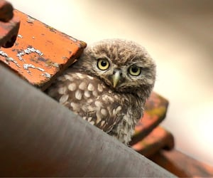 The cutest little baby Owl