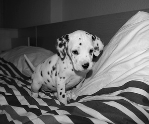 adorable, puppy, and black and white image