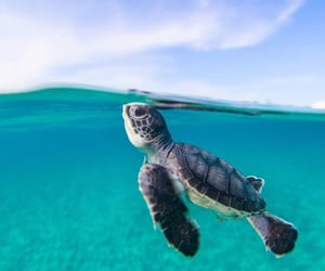 Oh to be a baby sea turtle swimming In the sea