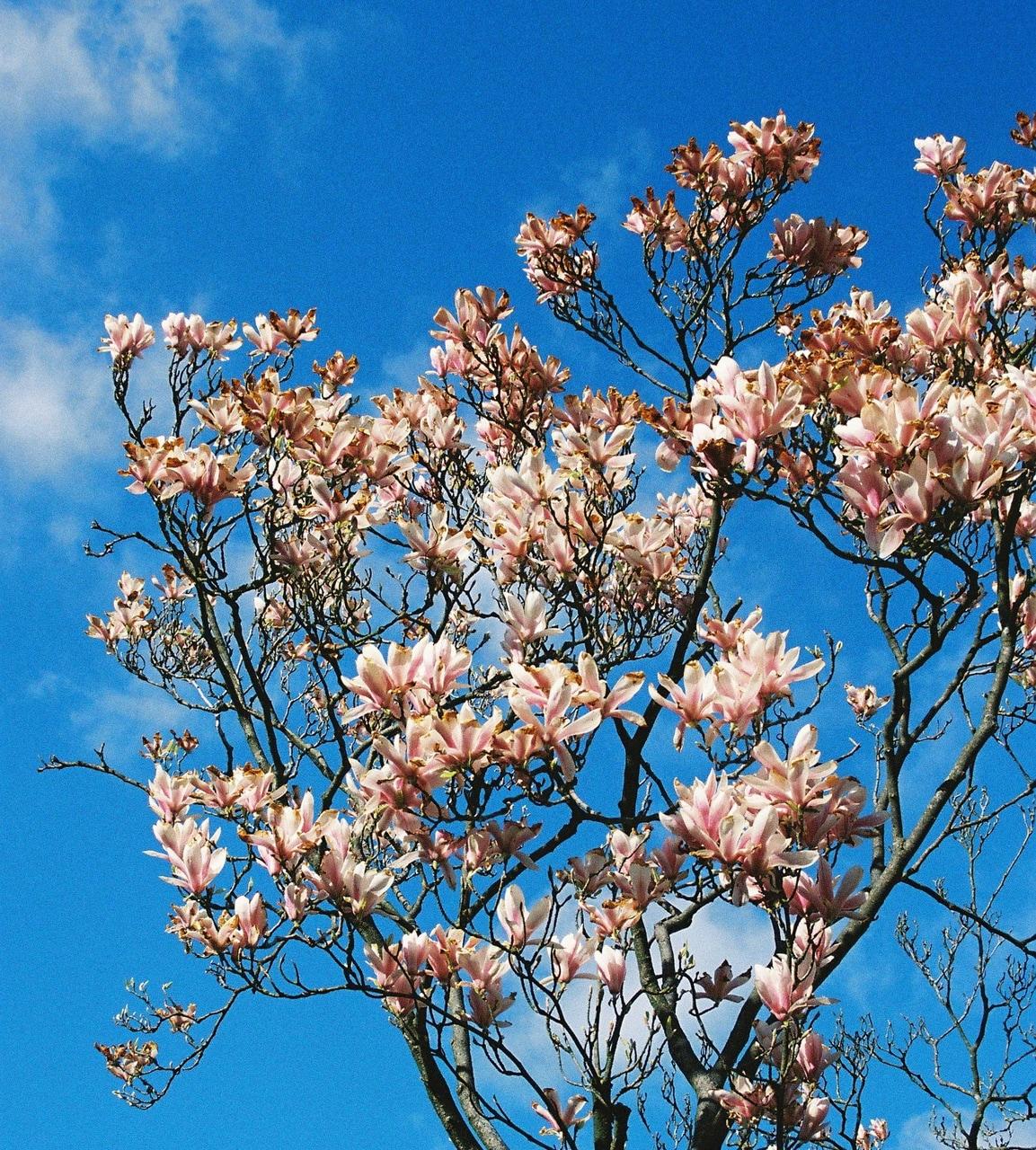 film, magnolia, and photographer image