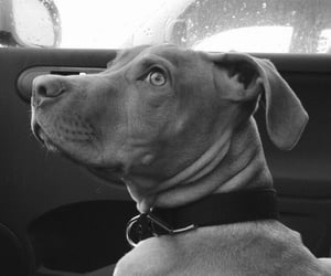 black, car, and pitbull image