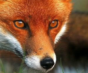 animal, nature, and fox image