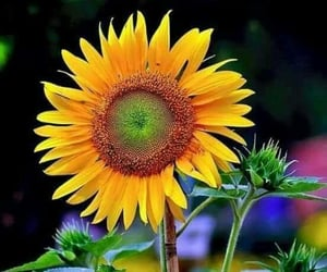 sunflower, nature, and field image