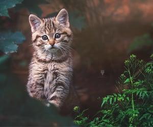 European wild cat ( Felis silvestris )