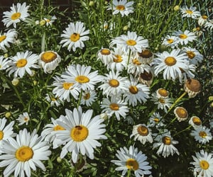 aesthetic, daisies, and daisy image