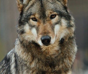 animals, nature, and wolves image