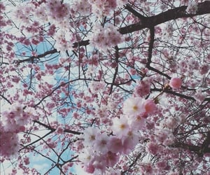 cherry blossoms, nature, and pink image