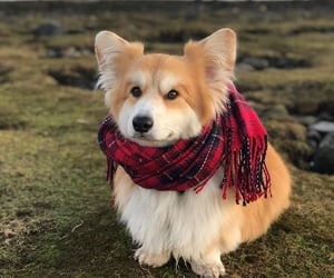 adorable, corgi, and winter image