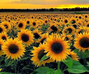 sunflower, yellow, and flowers image