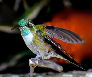Colibri Green-throated mountain-gem, Fraijanes