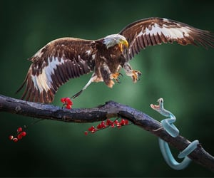 Go Eagle  By Arnaldo Paulo Che