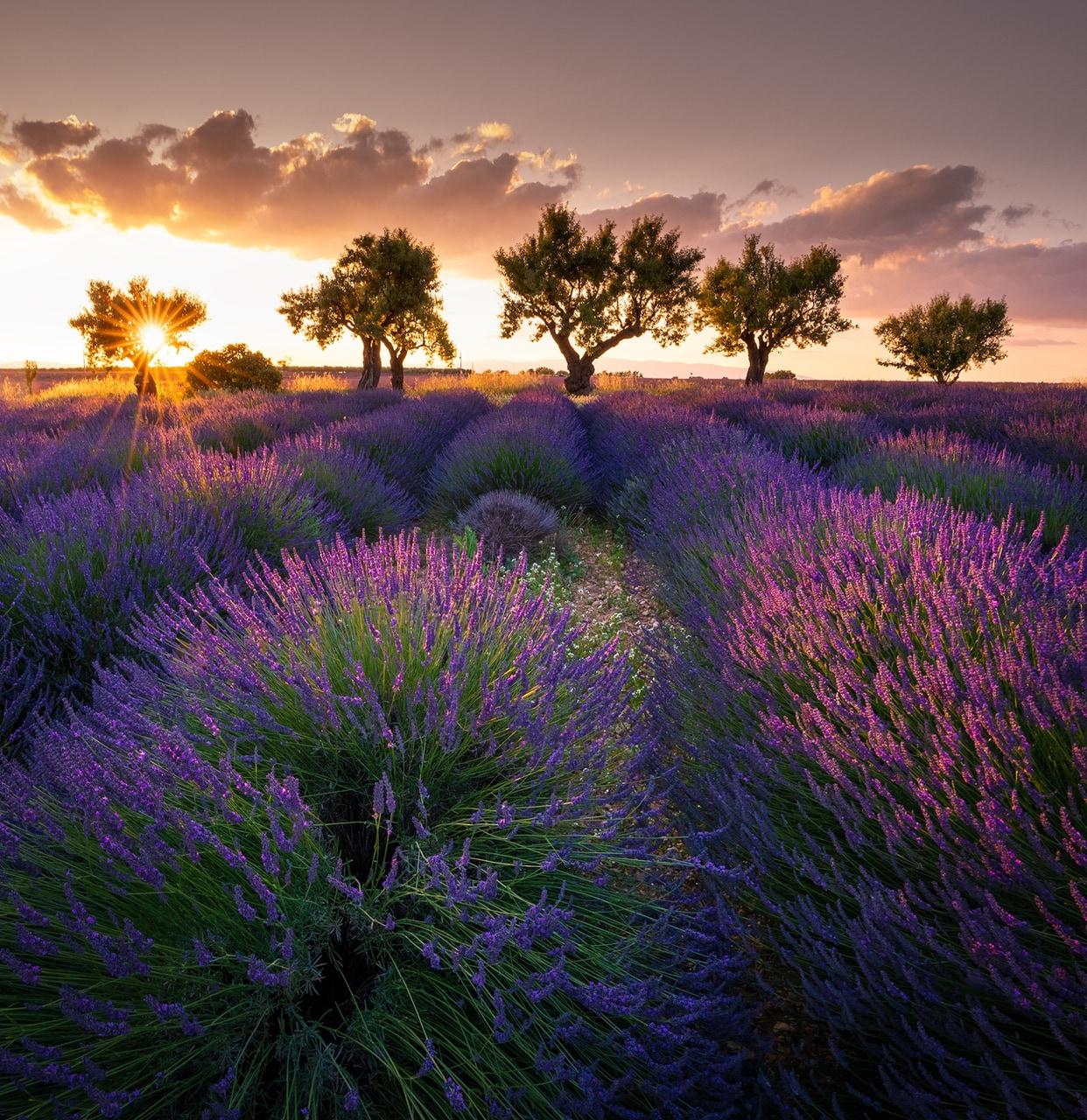 blooming lavender image