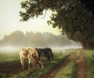 cows and farm image