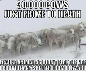 cows, during, and Died image