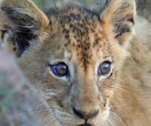 Lion cub at Londolozi,South Africa. By Anthony Goldman