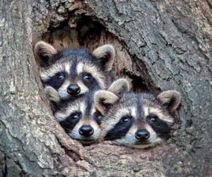 animals, raccoons, and cute image
