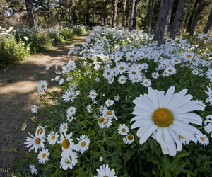 daisy, daisy flowers, and flowers image