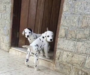 black, dalmatians, and white image