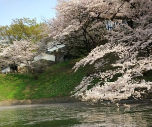cherry blossom, cherry blossoms, and japan image