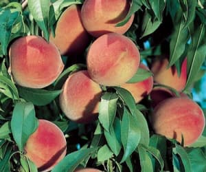 peach, fruit, and nature image