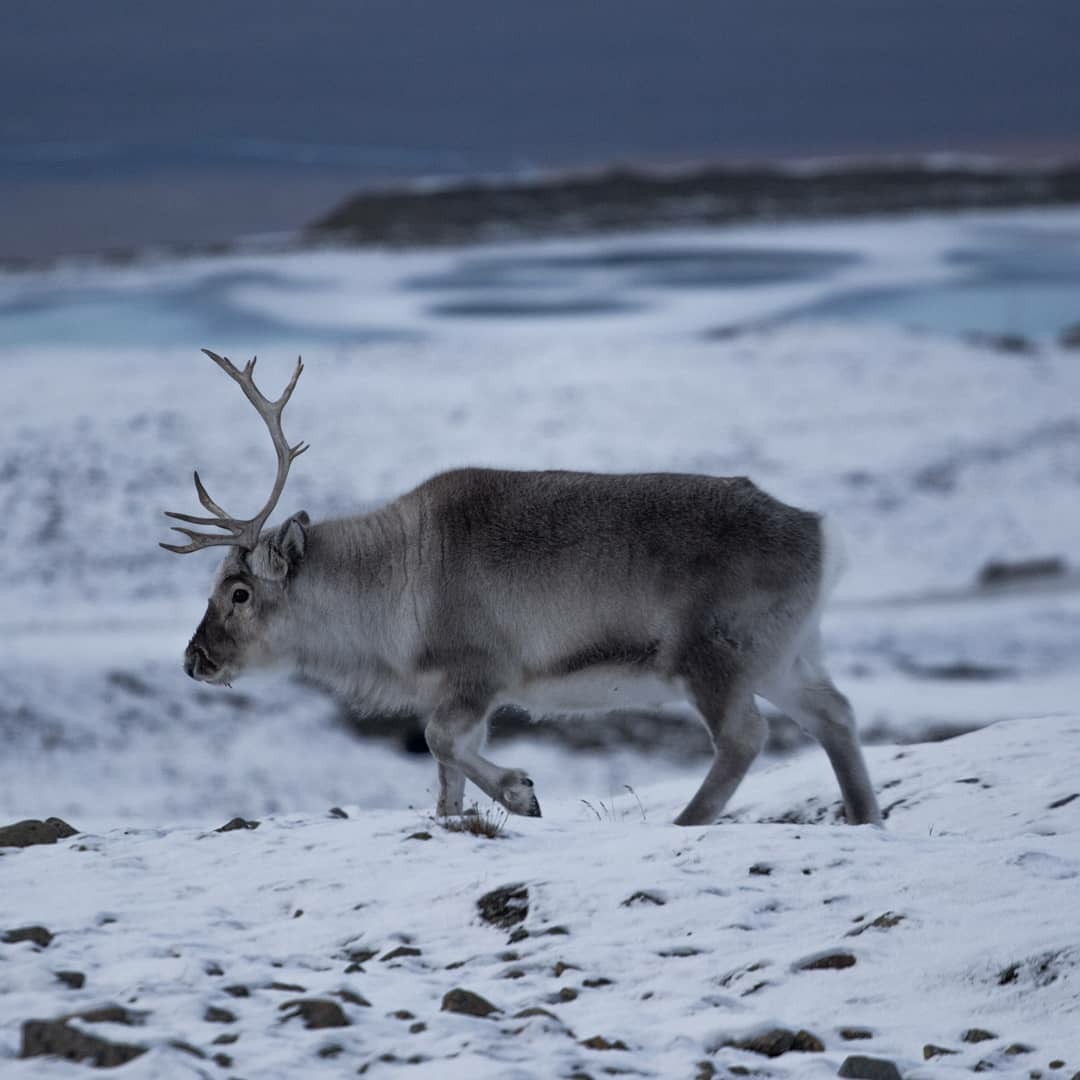 animals, norway, and reindeer image