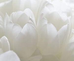 tulips, aesthetics, and flowers image