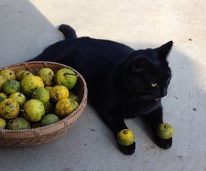 cat, fruit, and funny image