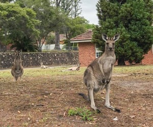 australia, kangaroo, and Sydney image