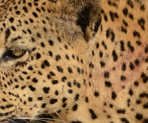 cheetah, theme picture, and archive image
