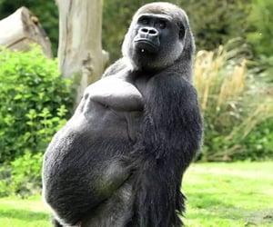gorilla, kent, and United Kingdom image