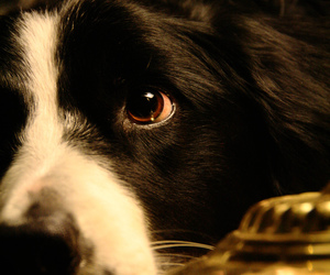 border collie, dog, and herding image