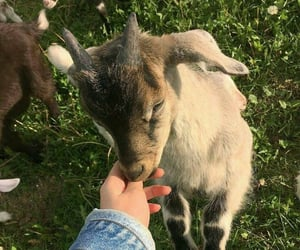 animal, goat, and aesthetic image