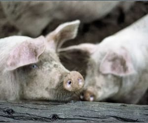 swine flu, ordeal of culling pigs, and african swine fever image