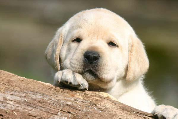 article, labrador, and labradorpuppy image