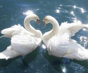 Swan, water, and lake image