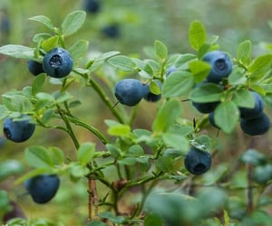beauty, blueberry, and blue image