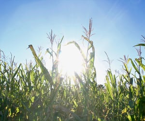 corn, corn maze, and maze image