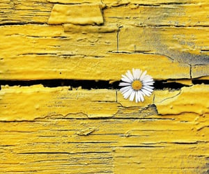 daisy, flower, and wall image
