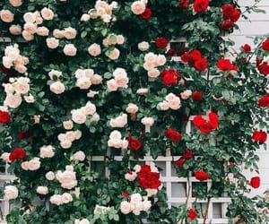 flower, red roses, and white roses image