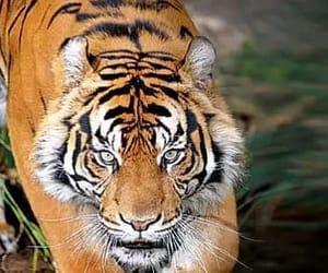 global tiger day, tiger conservation, and global tiger day 2020 image
