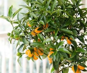 orange, plant, and orange tree image