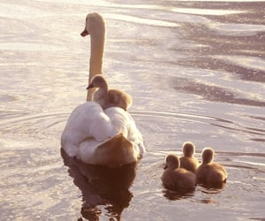 cute, Swan, and animal image