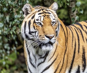 animal, wallpapers, and tiger image