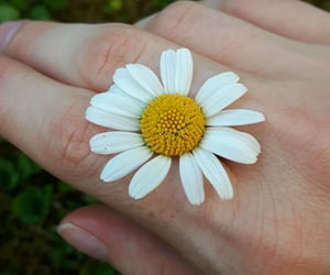 daisy and margherita image