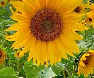 flower, sunflower, and instagram image