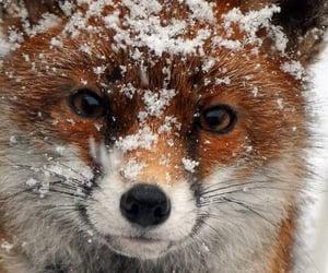 animal, fox, and winter image