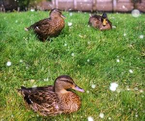 belgium, ducks, and summer image