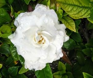 dew, gardenia, and losangeles image