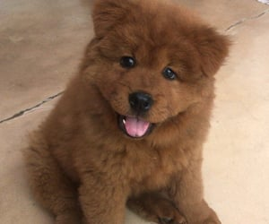 puppy, chowchow, and chowchowpuppy image