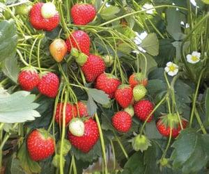 strawberry, fruit, and cottagecore image